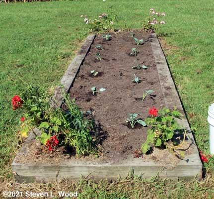 Brassica transplanting done