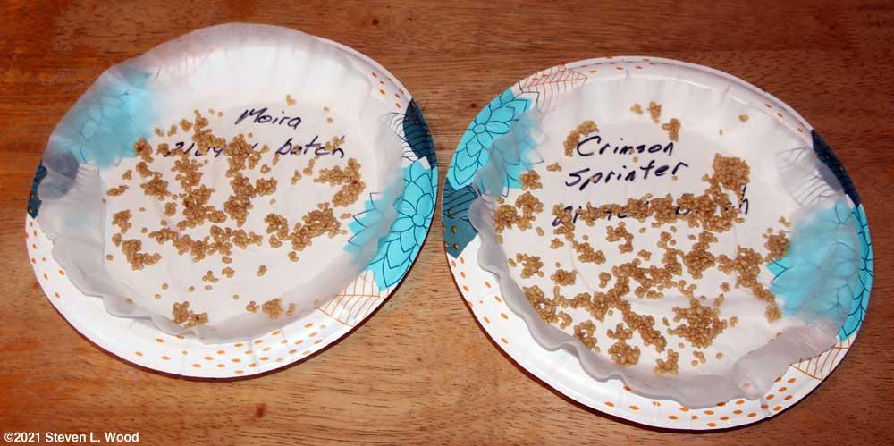 Moira and Crimson Sprinter tomato seeds drying