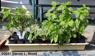 Basil and parsley transplants