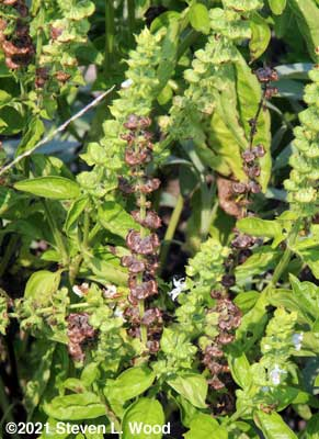 Basil plant blooming and maturing seed