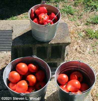 Today's harvest of tomatoes and peppers