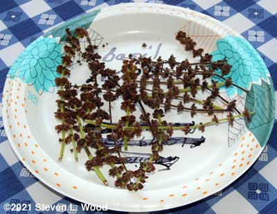 Basil seed spikes drying