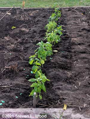 Row of basil and parsley