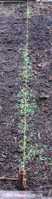 Seedling spinach and seedling weeds