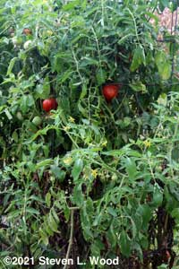 Another Earlifouge tomato plant