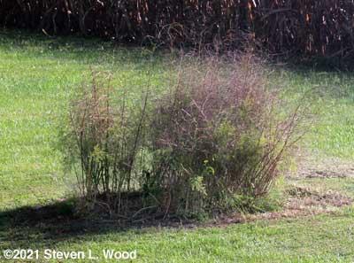Bonnie's Asparagus Patch weeded