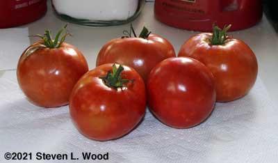 Underripe Crimson Sprinter tomatoes