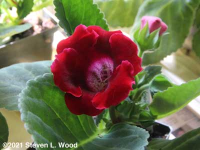 First gloxinia bloom from newly seeded plants