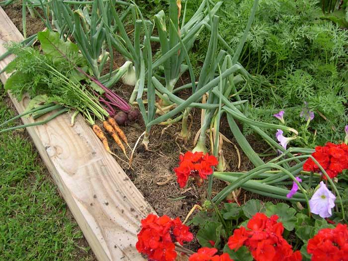 Carrots, Beets, & Onions