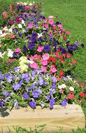 Petunias in garden
