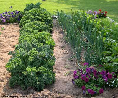 Kale in 2008 garden