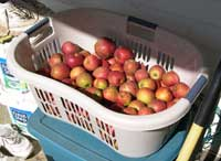 apples in laundry basket