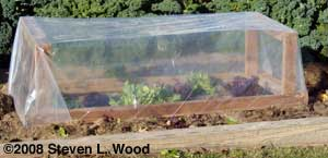 Lettuce under cold frame