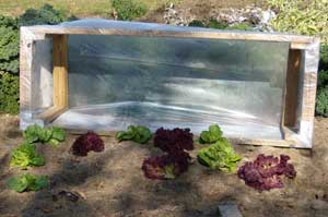 Fall lettuce and cold frame