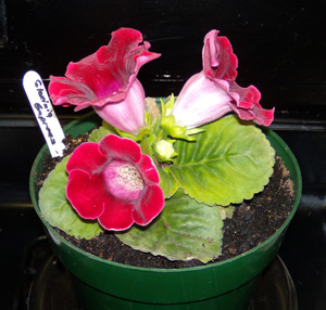 Gloxinia in bloom