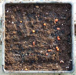 Seeding asparagus