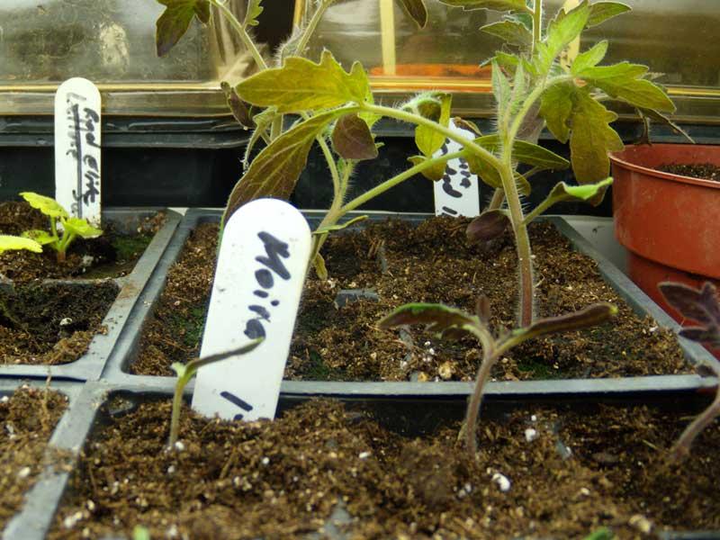 Moira seedlings