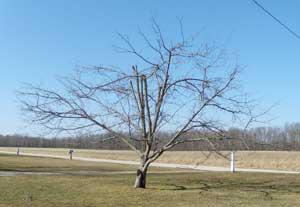 Pruned apple tree