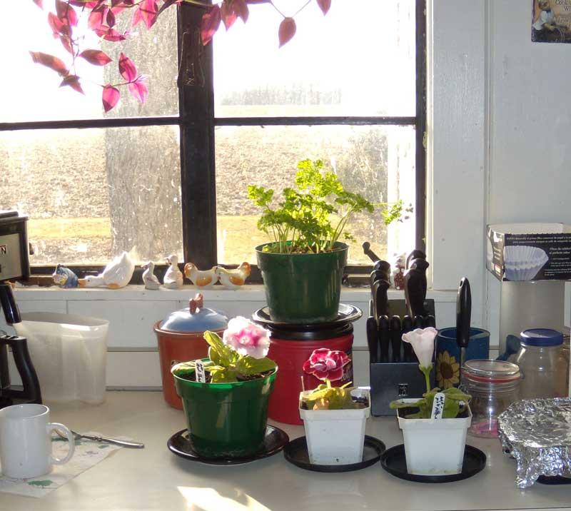 Gloxinias in the kitchen