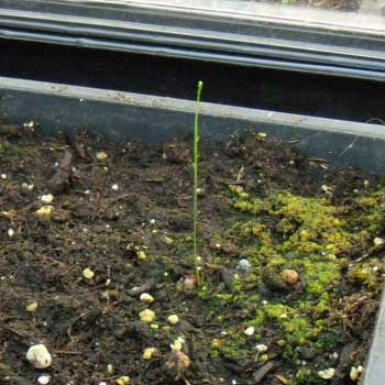 Lonely asparagus sprout