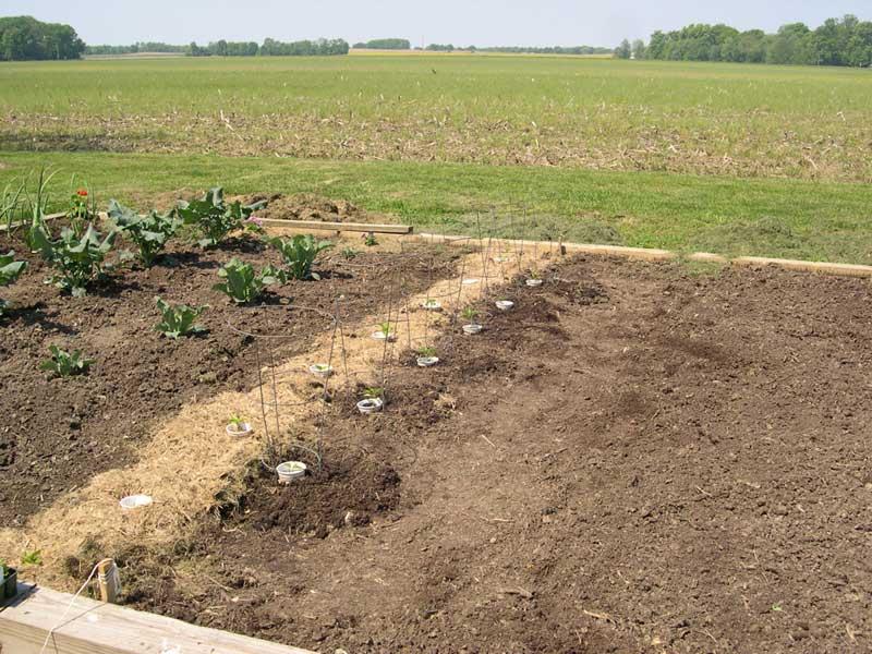 Pepper planting