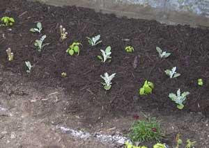 Close planting