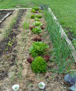 Lettuce and onions