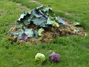 Cabbage & compost