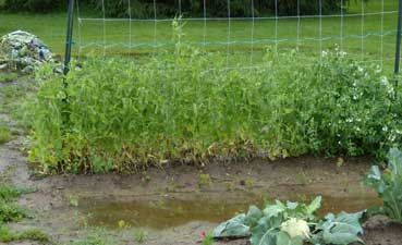 Wet pea patch