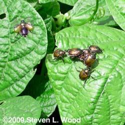 Japanese Beetles on Green Beans