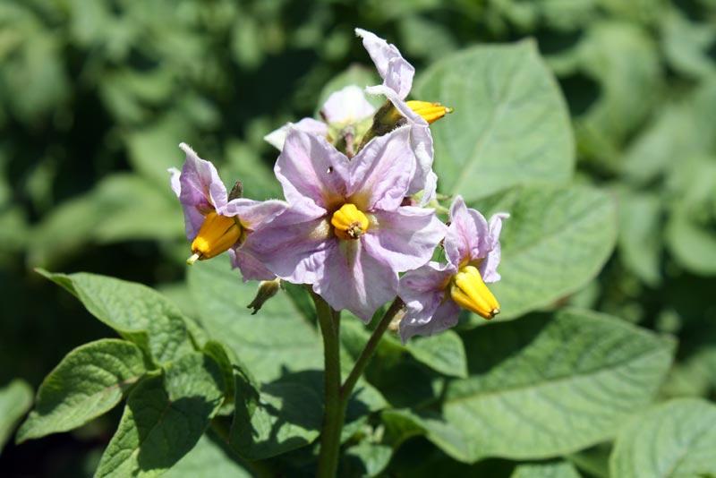 Potato bloom