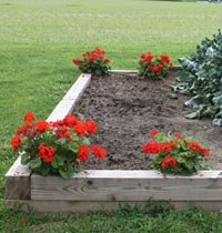 Geraniums in soft bed
