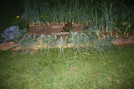 Onions at Night