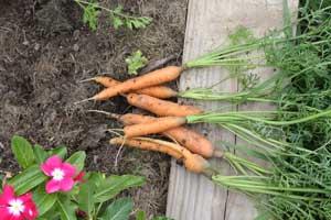 Baby Sweet carrots
