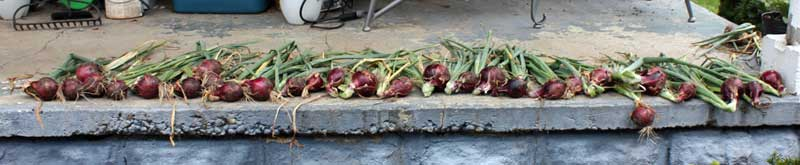 Red Zeppelin onions drying