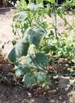 JLP cucumber