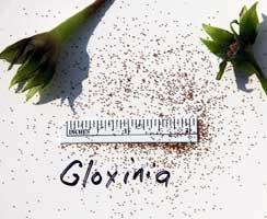Gloxinia seed