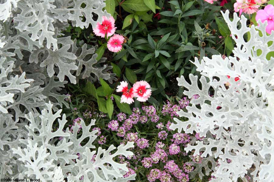 Dianthus among other plants