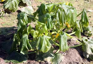 Frost nipped squash plant