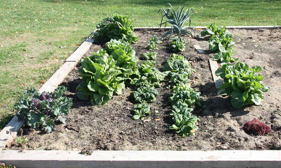 Great fall lettuce and spinach