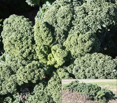 Kale on December 1