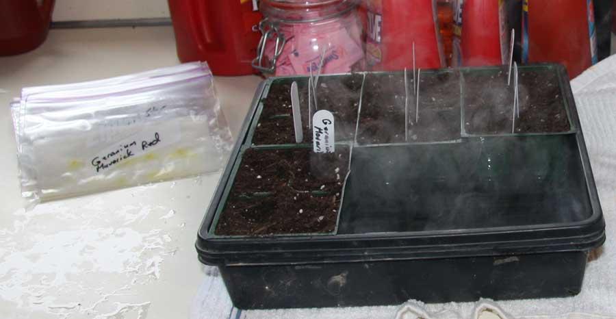 Geranium half flat