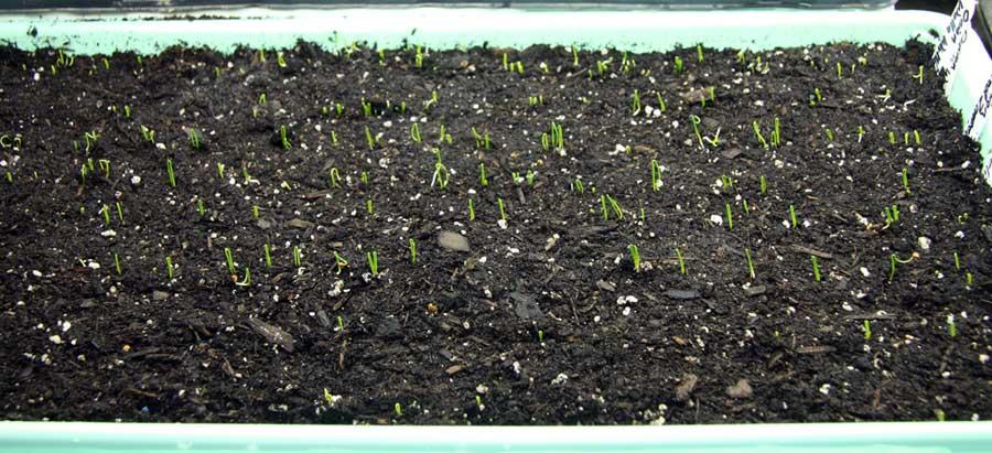 Onions germinating