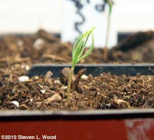 Blue spruce seedling