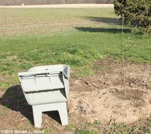 Oak tree planted