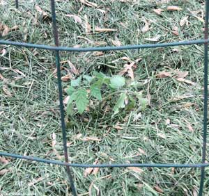 Caged tomato plant