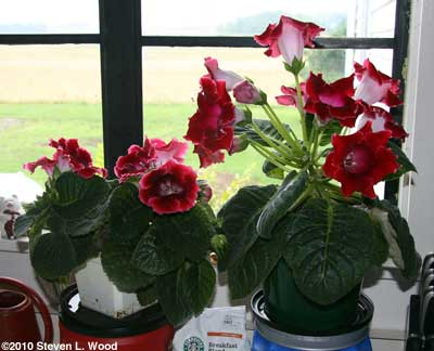 Red gloxinias