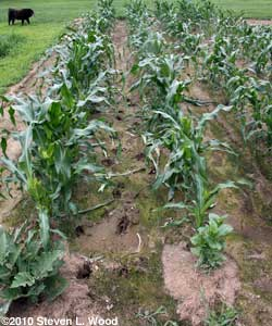 Deer tracks in corn