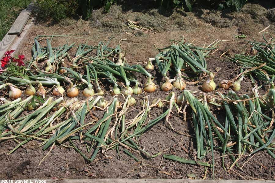 Storage Onions bent down