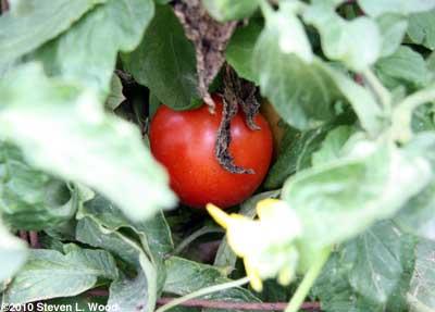 Moira tomato